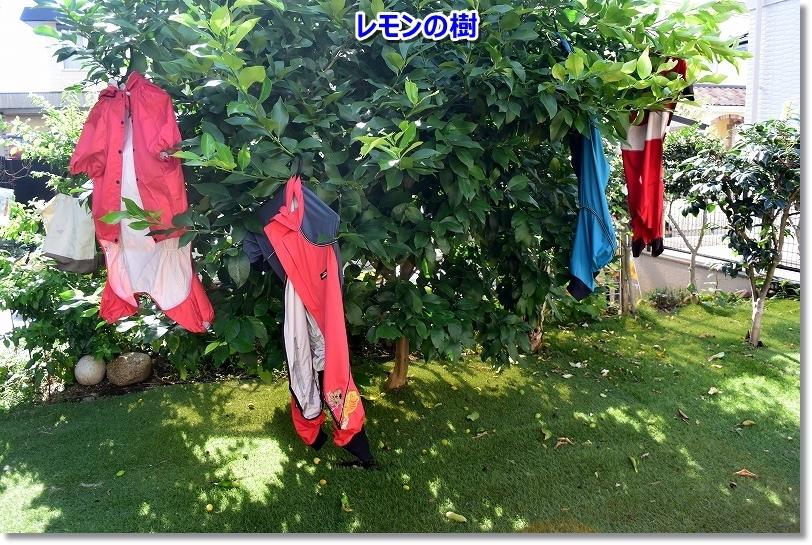 DSC_3529干す場所がない。。レモンの樹まで