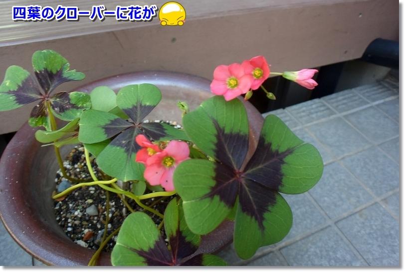 DSC_3542四葉のクロ―bに花