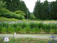 2018-06-30平泉-毛越寺アヤメ祭り-しろぷーうさぎ089