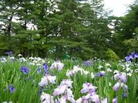 2018-06-30平泉-毛越寺アヤメ祭り-しろぷーうさぎ094