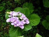 2018-07-08舞川紫陽花園ー重箱石075