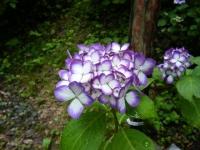 2018-07-08舞川紫陽花園ー重箱石074