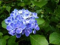 2018-07-08舞川紫陽花園ー重箱石083