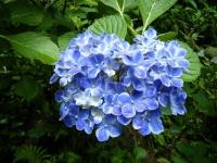 2018-07-08舞川紫陽花園ー重箱石082
