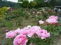 2018-05-13花と泉の公園-牡丹園174