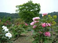 2018-05-13花と泉の公園-牡丹園172