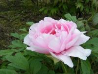 2018-05-13花と泉の公園-牡丹園170