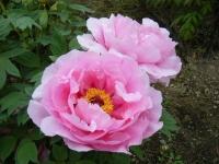 2018-05-13花と泉の公園-牡丹園169