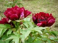 2018-05-13花と泉の公園-牡丹園179
