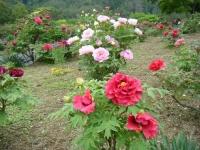 2018-05-13花と泉の公園-牡丹園178