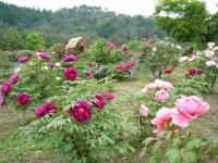 2018-05-13花と泉の公園-牡丹園177