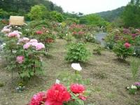 2018-05-13花と泉の公園-牡丹園176