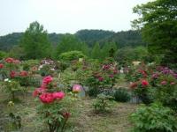 2018-05-13花と泉の公園-牡丹園175
