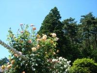 2018-06-09花巻薔薇園128
