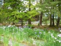 2018-06-30平泉-毛越寺アヤメ祭り-しろぷーうさぎ099
