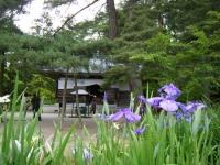 2018-06-30平泉-毛越寺アヤメ祭り-しろぷーうさぎ108
