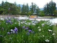 2018-06-30平泉-毛越寺アヤメ祭り-しろぷーうさぎ105