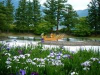 2018-06-30平泉-毛越寺アヤメ祭り-しろぷーうさぎ106