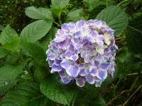 2018-07-08舞川紫陽花園ー重箱石090