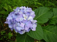 2018-07-08舞川紫陽花園ー重箱石089