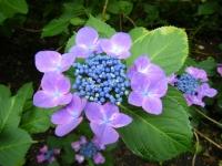 2018-07-08舞川紫陽花園ー重箱石088