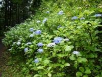 2018-07-08舞川紫陽花園ー重箱石085