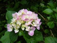 2018-07-08舞川紫陽花園ー重箱石095