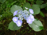 2018-07-08舞川紫陽花園ー重箱石093