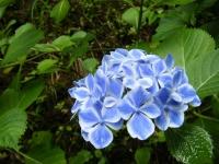2018-07-08舞川紫陽花園ー重箱石092