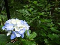 2018-07-08舞川紫陽花園ー重箱石091