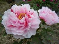 2018-05-13花と泉の公園-牡丹園186