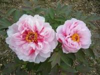 2018-05-13花と泉の公園-牡丹園185