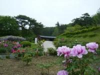 2018-05-13花と泉の公園-牡丹園183