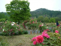 2018-05-13花と泉の公園-牡丹園182