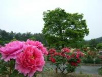2018-05-13花と泉の公園-牡丹園192