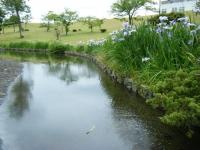 2018-06-16登米市南方花菖蒲の郷-しろぷーうさぎ142