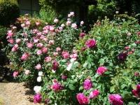 2018-06-09花巻薔薇園137