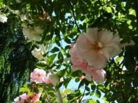 2018-06-09花巻薔薇園143
