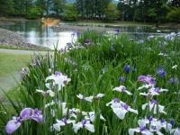 2018-06-30平泉-毛越寺アヤメ祭り-しろぷーうさぎ114