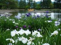 2018-06-30平泉-毛越寺アヤメ祭り-しろぷーうさぎ118