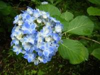 2018-07-08舞川紫陽花園ー重箱石102