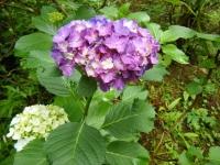2018-07-08舞川紫陽花園ー重箱石097