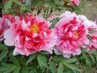 2018-05-13花と泉の公園-牡丹園198