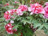 2018-05-13花と泉の公園-牡丹園197
