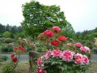 2018-05-13花と泉の公園-牡丹園195