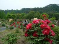 2018-05-13花と泉の公園-牡丹園193