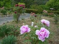 2018-05-13花と泉の公園-牡丹園204