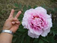 2018-05-13花と泉の公園-牡丹園203