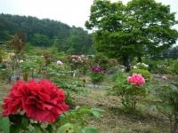 2018-05-13花と泉の公園-牡丹園202