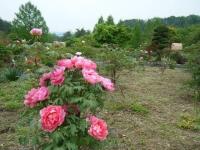 2018-05-13花と泉の公園-牡丹園200